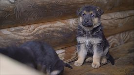 East European Shepherd Dog Puppy Sits And Freezes. A Lonely Shepherd Puppy Freezes In The Street. Po