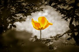 Yellow Tulip Soul In Black White For Peace Heal Hope. The Flower Is Symbol For Power Of Life And Min