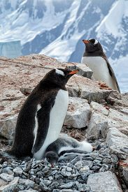 Gentoo penguin parents and chick on a rocky outcropping with mountain backdrop on Petermann Island in Antarctica.