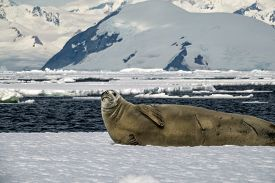 Crabeater seal on an ice sheet with mountain backdrop along the waters of the Antarctic Peninsula.