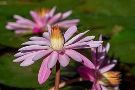 Sun Shines On Some Pink Water Lilies.