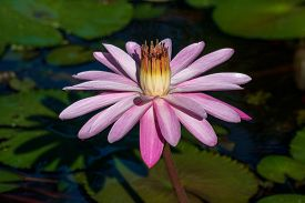 Sun Shining On A Pink Water Lily.