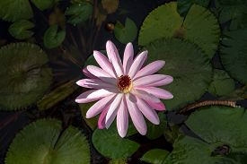 Overhead View Of A Pink Water Lily