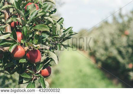Close-up Of Ripe Red Apples On Tree At Apple Orchard