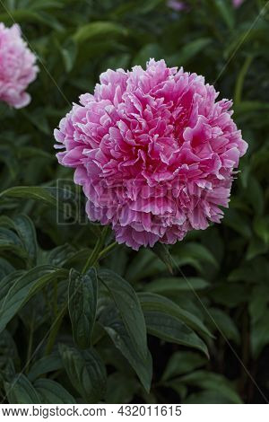 Flower Double Dark Pink Peony Ensign Moriarty , Blooming Paeonia Lactiflora In Summer Garden On Natu