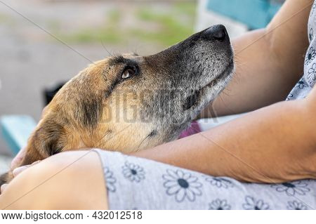 Dog At The Feet Of His Mistress, A Woman Caresses The Dog