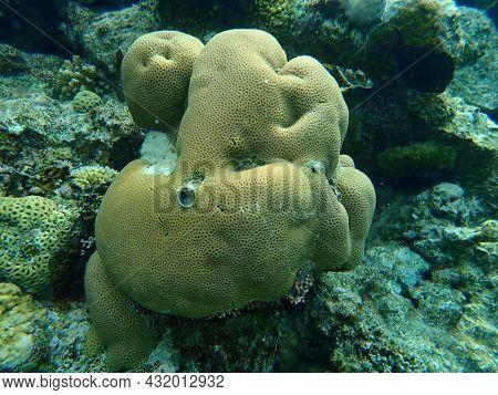 Lesser Star Coral Or Brain Coral (goniastrea Edwardsi) Undersea, Red Sea, Egypt, Sharm El Sheikh, Na