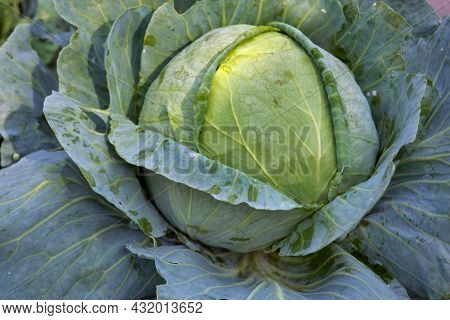 Green Cabbage Head, Top View. Green Cabbage Head In Field. Gardening Cabbage Background In Open Grou