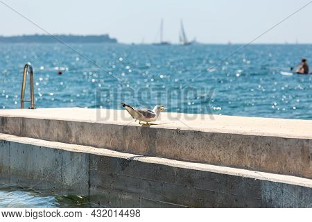 Seagull Swallowing Fresh Caught Fish On Concrete Pier, Beautiful Turquoise Sea Background