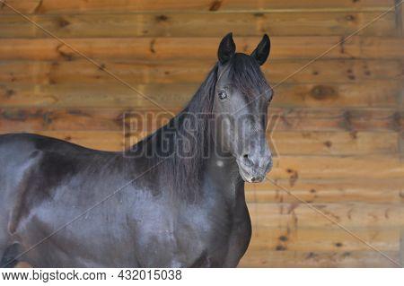 Portrait Close Up Of A Beautiful Young Stallion. Head Shot Of A Purebred Morgan Horse At A Rural Ran