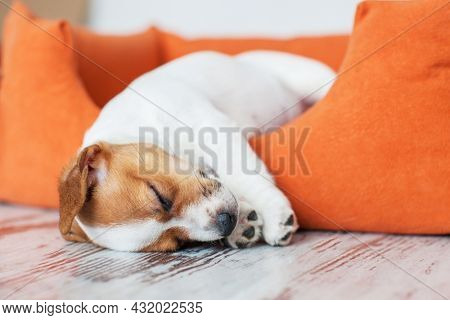 small funny Jack Russell terrier puppy sleeps in orange dog bed