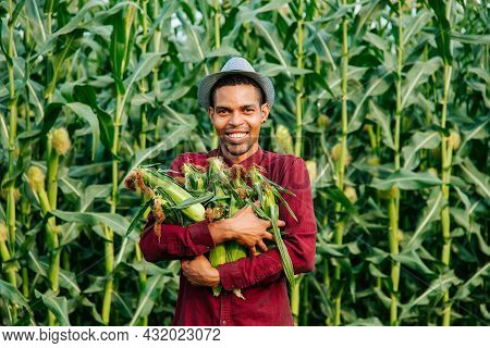 Happy Man African American Farmer With Hat Looking At Camera And Gathering Corn On Field. Young Farm