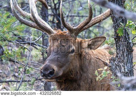 Deer At Grand Canyon National Park In A Sunny Day, Arizona, Usa