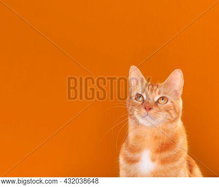 Beautiful ginger tabby cat staring upwards on orange background