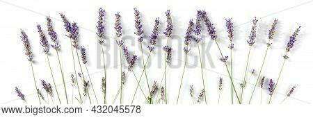 Lavender Flowers Panorama, Shot From The Top On A White Background. Lavandula Blossoms Panoramic Ban