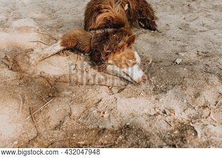 Funny And Dirty Puppy Dog Wallowing On Sand On Summer Or Spring Season With Innocent Expression Face