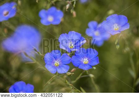 Bright Delicate Blue Flax Flower Of Decorative Flax Flower And Its Shoot On Grassy Background. Agric