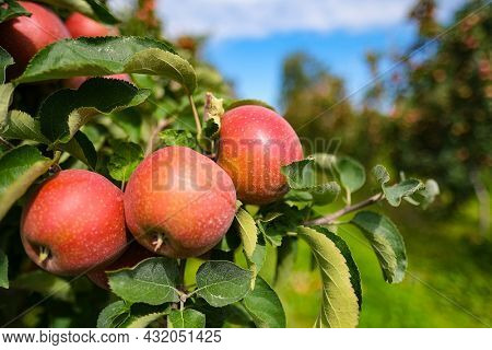 red apples on branch. Autumn harvest, Orchard