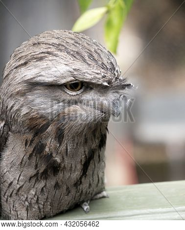 The Tawny Frogmouth Is Perched On A Fence