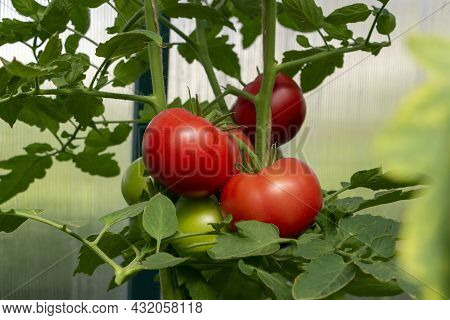 Bunch Of Organic Ripe Red Juicy Tomato In Greenhouse. Homegrown, Gardening And Agriculture Consept.