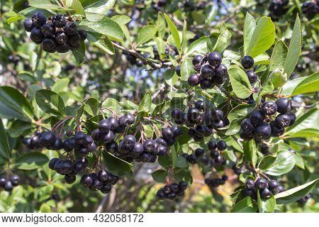 Rowan, Aronia Aronia, Chokeberry (latin Aronia Melanocarpa) On A Branch. Autumn Background