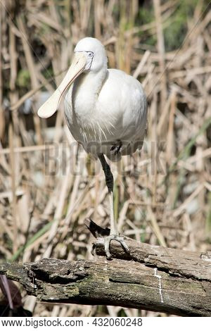 The Yellow-billed Spoonbill Is A Large, White Waterbird With A Yellow Face And Spatulate (spoon-shap