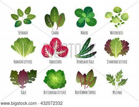 Salad Leaves. Edible Vegetable Plants Leaf Set Isolated On White, Green Leafy Vegetables Healthy Foo