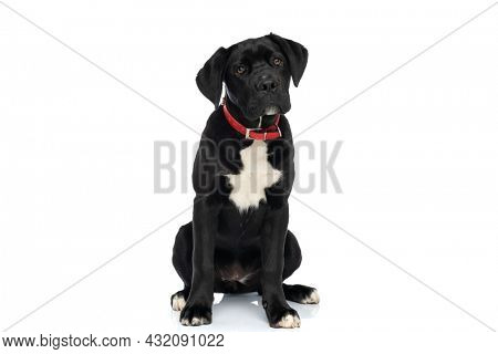 cane corso puppy with red collar around neck sitting isolated on white background