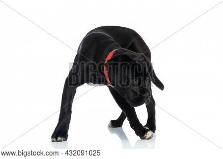 lovely cane corso puppy wearing red collar around neck looking down side and searching while standing and walking on white background in studio