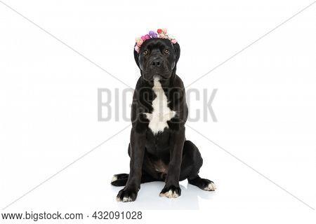 adorable cane corso doggy wearing flower headband  and sitting isolated on white background in studio