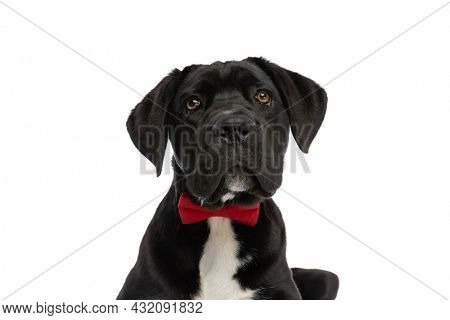 portrait of beautiful cane corso dog wearing red bowtie, being elegant and looking up while laying down isolated on white background in studio
