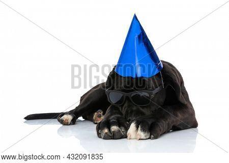 adorable cane corso puppy wearing birthday hat and sunglasses, holding head down and laying down isolated on white background in studio