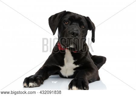 precious black cane corso dog with red bowtie around neck laying down in studio while being elegant on white background
