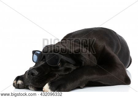 cane corso puppy with sunglasses holding head down, looking up and laying down isolated on white background in studio