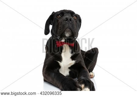 adorable cane corso dog wearing red bowtie and looking up in a curious manner while laying down isolated on white background