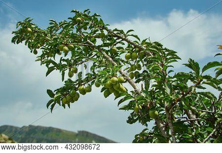 Prunus Cerasifera , Unripe Fruits Native To Southeast Europe And Western Asia,