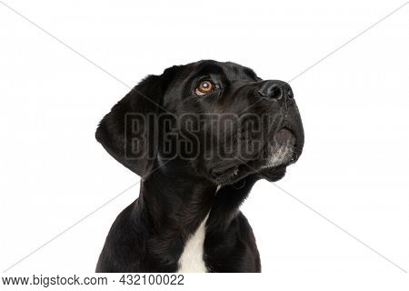 portrait of lovely cane corso doggy looking up and side and sitting isolated on white background in studio
