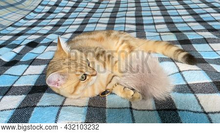Ginger Striped Kitten Playing With Fur Ball On Blue Checkered Blanket. Golden Chinchilla Cat.