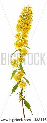 European Goldenrod Flowers Isolated On White Background