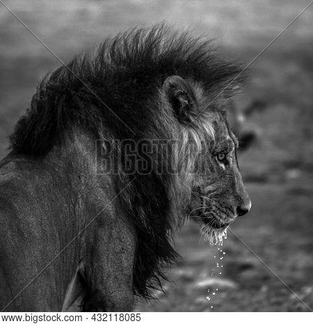 Big Male African Lion Panthera Leo Drinking Water, Kalahari, Namibia