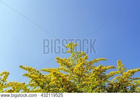 Giant Goldenrod, Golden Rozga Gigant (solidago Gigantea), Species Of Dicotyledonous Flowering Plants