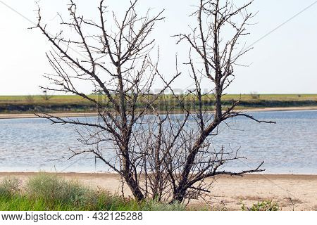 A Withered Tree On The Shore Of A Reservoir. Drought And Climate Change Results. Close Up.