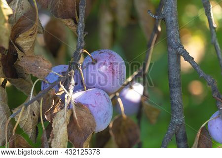 A Few Sweet Plums In The Tree - Growing Plum Tree At Home Concept. Dry Leaves On The Tree