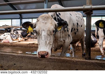 Cow Close Up. Stalls Of A Modern Barn With Cows And Rows Of Special Feed. A Modern Dairy Cow Farm In