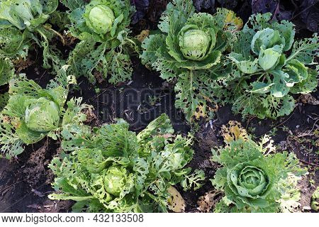Сabbage Growing In The Garden. Сabbage Leaves Eaten By Aphids, Bugs, Snails Or Other Pests