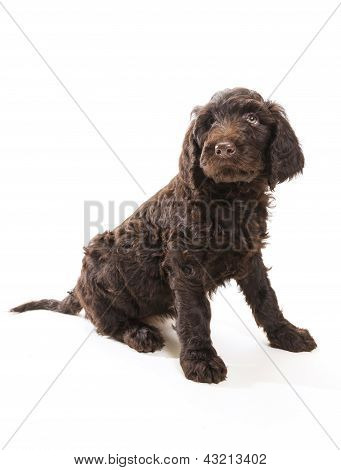 Labradoodle Looking Up