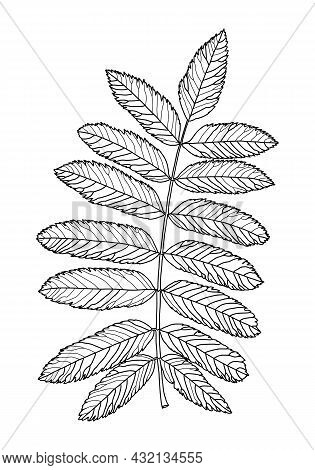 Linear Graphic Drawing Of Rowan Leaves With Veins Isolated On White Background. Vector Illustration.
