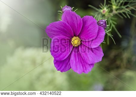 Summer Flowers Pink Cosmea Flower - In Latin Cosmos Bipinnatus