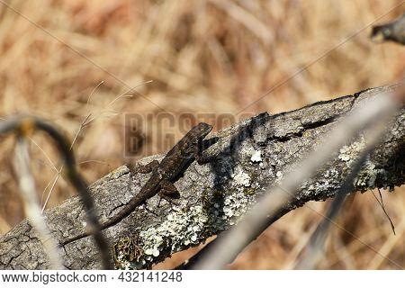 Western Fence Lizard Or Blue Belly Lizard Resting On Dead Branch In Northern California Hillside Nex