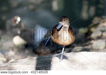 Front View Photo Of Lesser Whistling Duck Standing Alone On The Log.